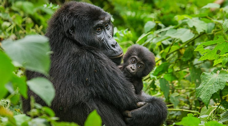 Gorillas in the Bwindi National Park